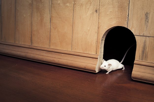 Tips to Get Rid of Mice in Your House